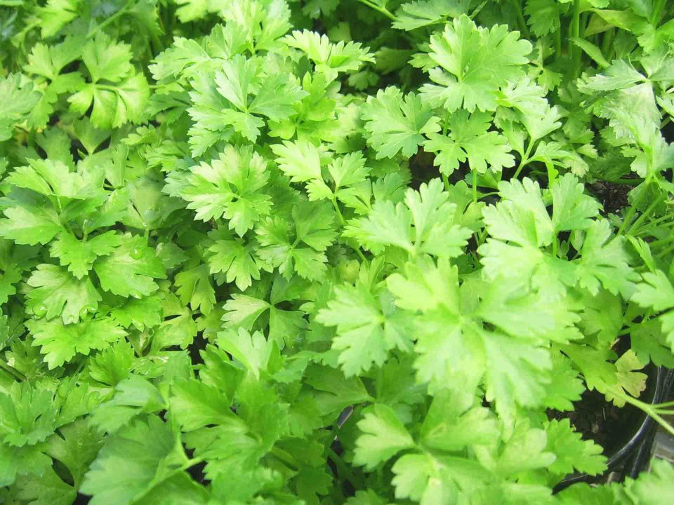 fresh flat parsley leaves for pasta recipe