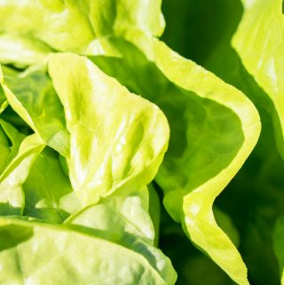 how to wash lettuce and keep it fresh