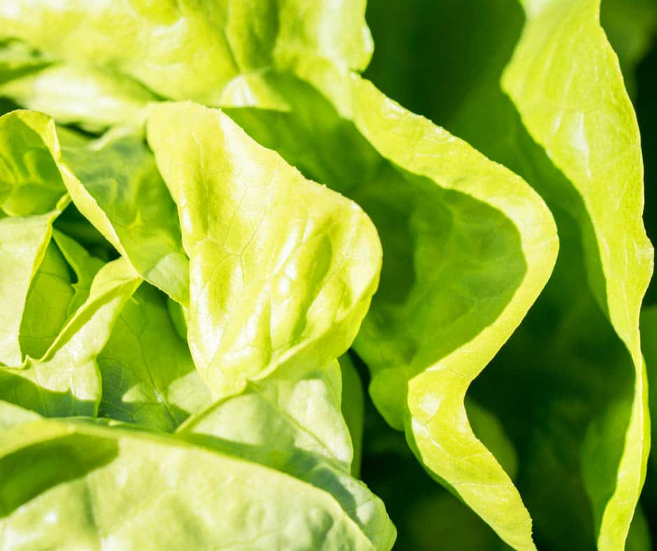 Should you wash lettuce how to wash lettuce and keep it - How to store lettuce from garden ...