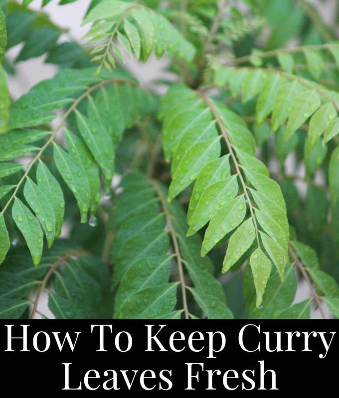 How To Keep Curry Leaves Fresh For Longer – Tips To Keep Curry Leaves Fresher For Longer Time