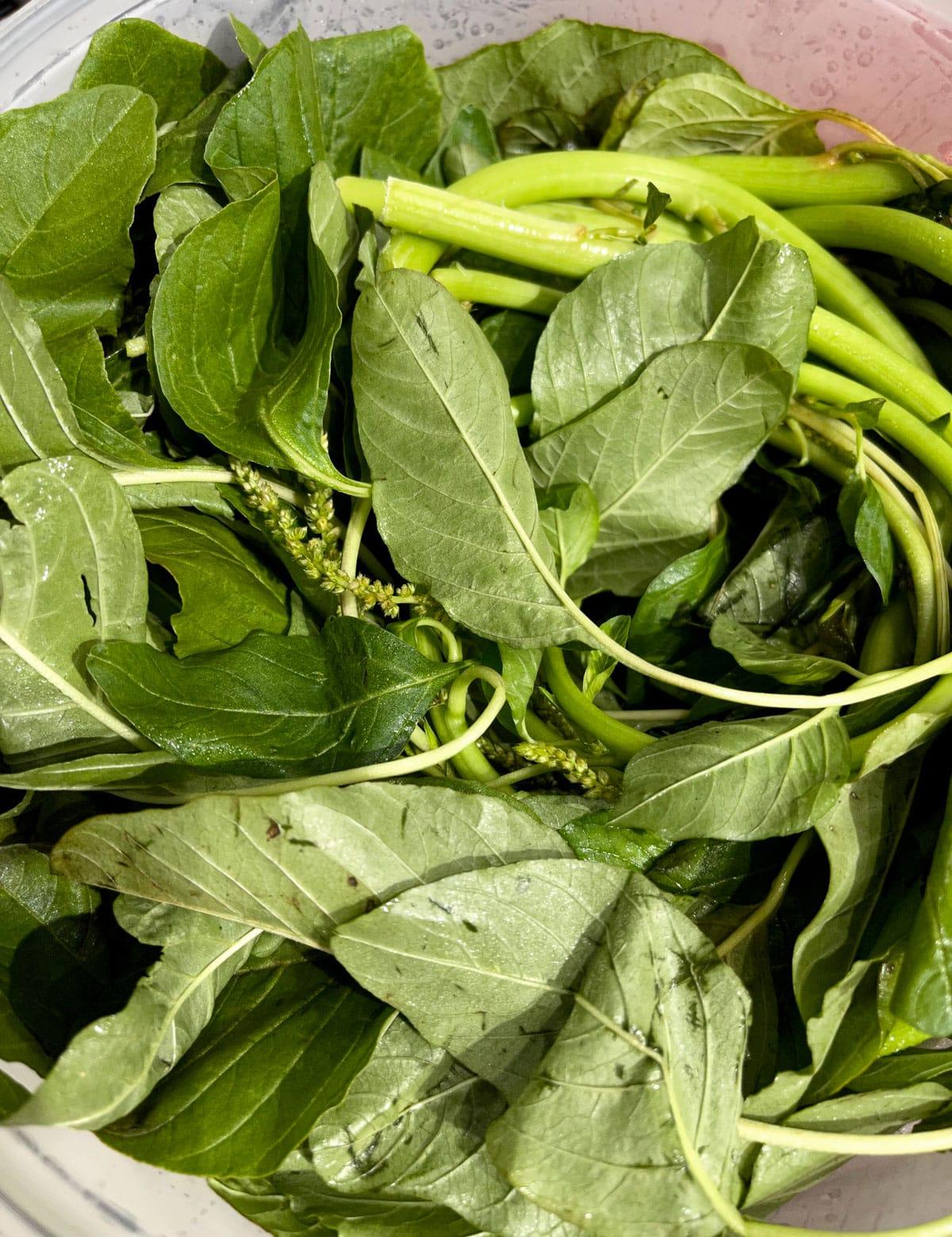amaranth leaves green cheera